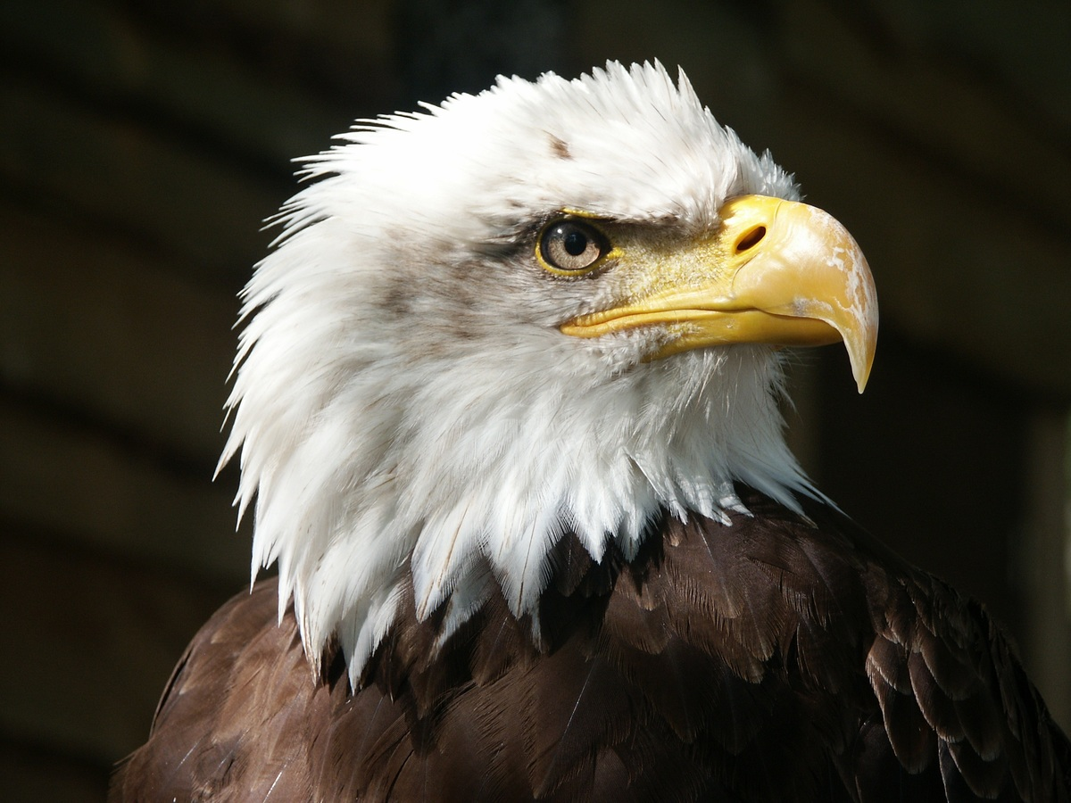 Eagle hawk is nearly about extinct
