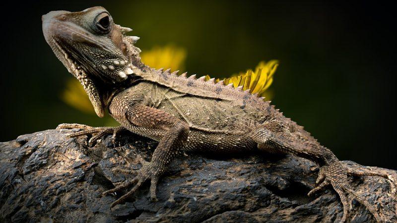 Do you believe, Lizard changed to black ?