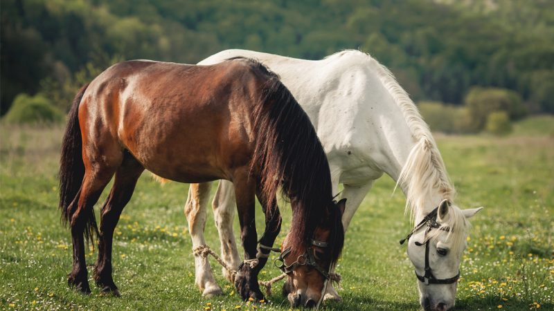 Rearing horses are more easier but expensive
