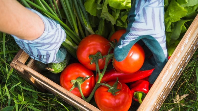 Greenhouse for growing tomatoes made profit
