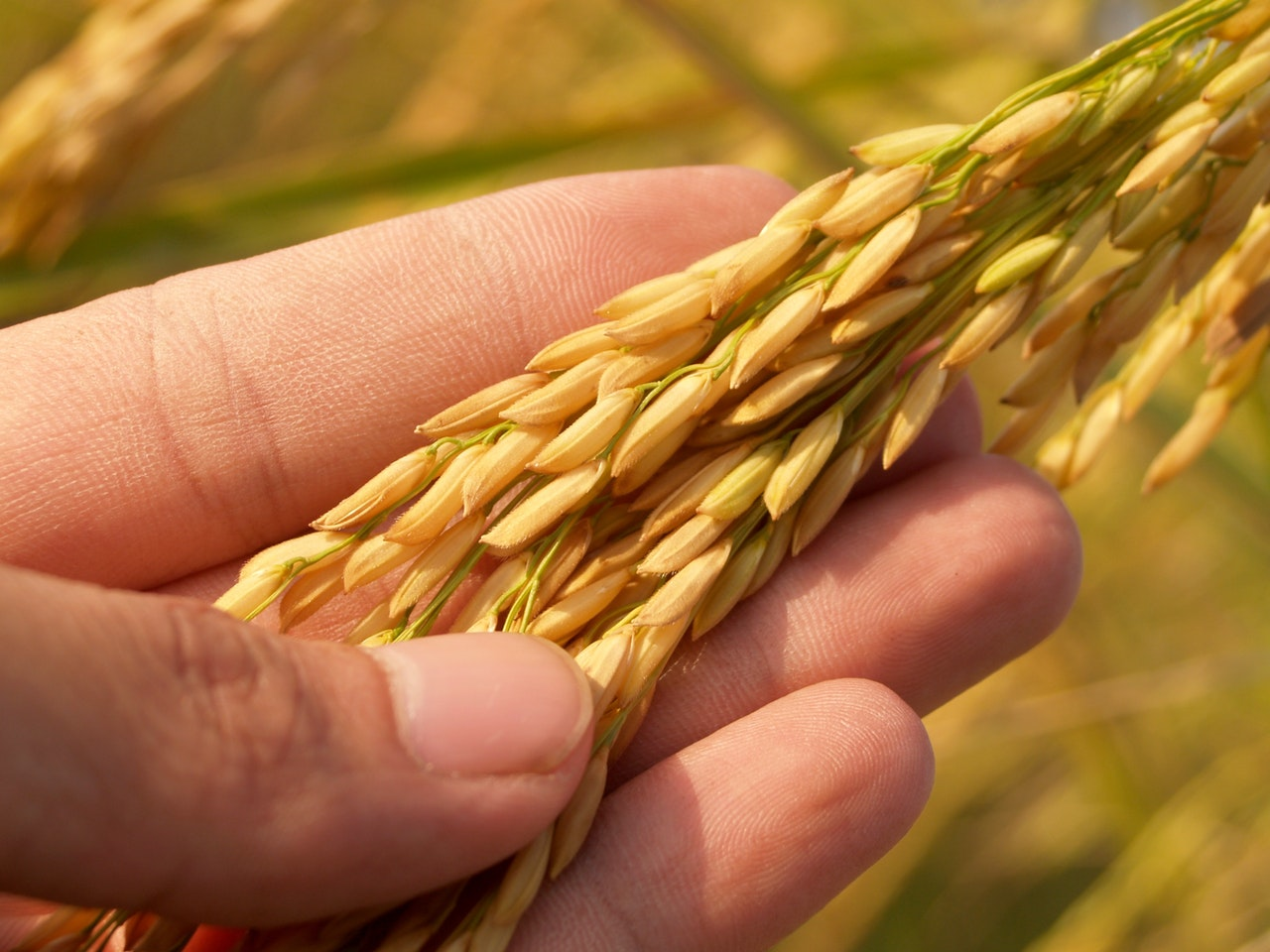 Golden paddy are expensive in market