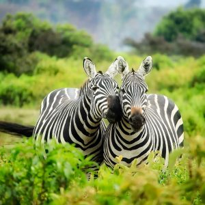 Zebras are having fun with the nature view